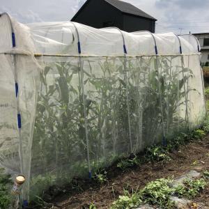 トウモロコシを人工授粉