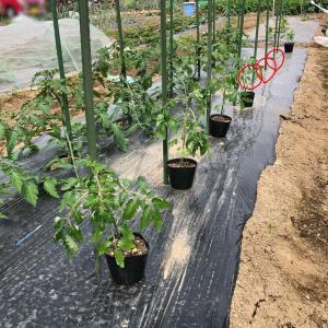 ミニトマト…足りない苗は挿し芽で補う(^^)v