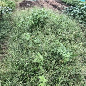 イチゴの移植準備…雑草から救出