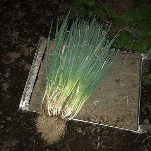 九条葱の植付け…植付けの適期ってあるのかな?