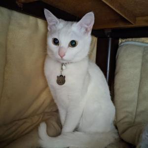 迷子札 プレート 電話番号 小型犬 猫 名前 アクリル製 シルバー ゴールド 猫フェイス 【ネ…