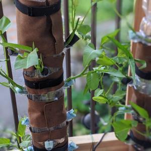 タワー型水耕栽培にちりめんわさび