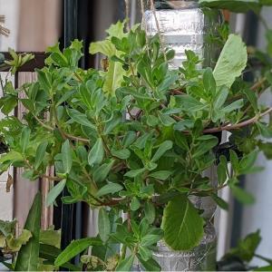 水耕栽培でポーチュラカは育つ
