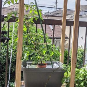 ルビーの栽培見直し|水耕栽培