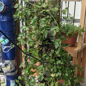 ペットボトルタワーの新しい作付け|水耕栽培