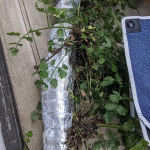 一日かかりました|三つ葉の水耕栽培