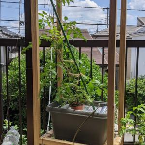 もうすぐ天井に|水耕栽培トマト