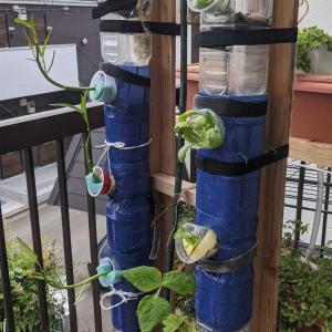 ペットボトルの水耕栽培