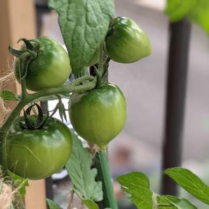 トマトの実|水耕栽培