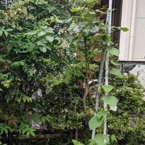 ブルーフォー・ユーの新芽|庭のバラ