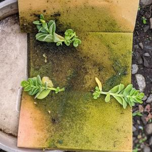 水耕栽培していたポーチュラカを移植