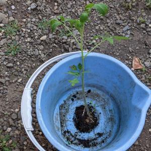トマちゃんよろしくね|水耕栽培