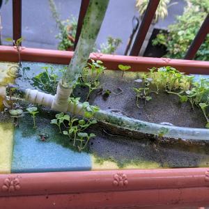 スズメの害 水耕栽培