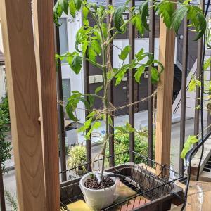 大玉かしら?|水耕栽培のトマト