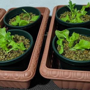 秋の苗作り 水耕栽培