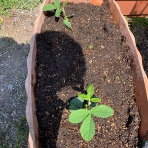 植えつけとウグイス