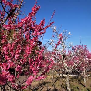梅花が綻ぶころ ~馬見丘陵公園