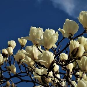 白木蓮の咲くころ ~長居公園、奈良公園・氷室神社