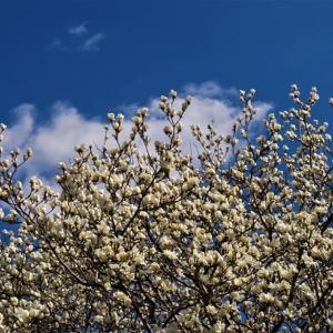 木蓮の咲くころ ~明日香デジスケッチ ②