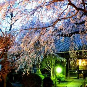 桜、桜、今、咲き誇る ~桜めぐりの旅へ