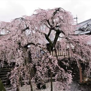 五條市新町の桜とジオラマ工房