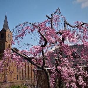 桜風景デジスケッチ ① ~京田辺・精華町あたり