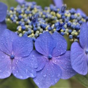 紫陽花の咲くころ ~けいはんな記念公園・水景園