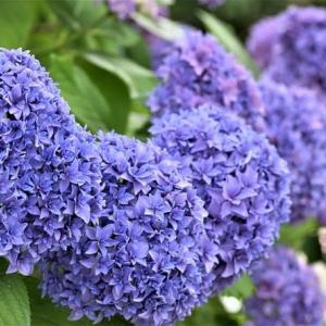 紫陽花の咲くころ ① ~近隣逍遥