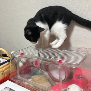 白黒猫のくうさん