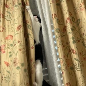 くうさんのカーテン登り