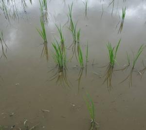 2020自然農法の田圃カルチがけ開始で今年は5条