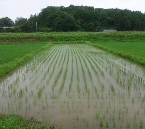 2020自然農法の巾着作付けとカルチ3回目後の様子