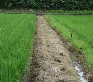 慣行農法のコシヒカリと自然農法のコシヒカリ比較