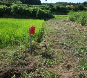 2021年自然農法コシヒカリ走り穂が出ました。