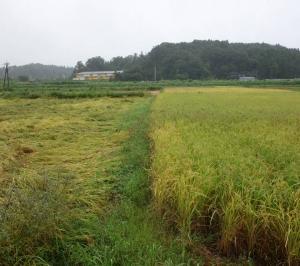 2021年自然農法稲刈り開始