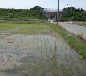 2019年自然農法水田中耕作業開始