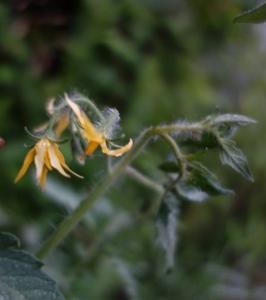 2019年自然農法のトマトの花