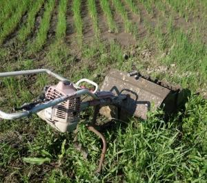 2018年と2019年の自然農法コシヒカリの違い6月23日