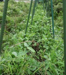 無農薬無肥料の夏野菜(カボチャ、ナス)とササゲの様子
