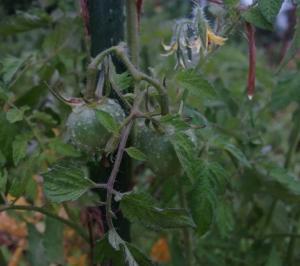 2019年自然農法のトマトの実をつけた