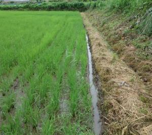 2019年自然農法水田の溝切り