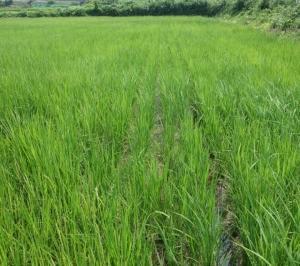 もう1枚の自然栽培のコシヒカリと藁の害その後