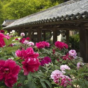 奈良県・長谷寺の牡丹