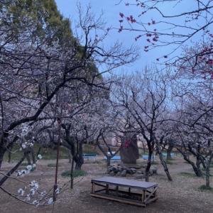 谷保天満宮の梅