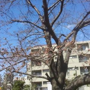 2019年3月24日(日)の西国立駅の桜