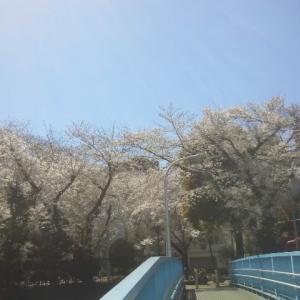 立川の桜が見頃です!