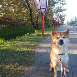 弘前城公園の桜まつりへ