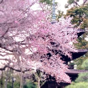 ホテル椿山荘東京♡桜