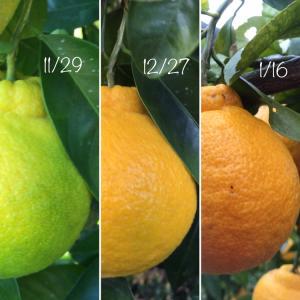 三宝柑の色。