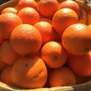 国産オレンジ